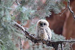 Mexican Spotted Owlet Zion.jpg