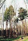 Mhl Stadtwald Mammutbäume.jpg