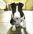 Mini Bull Terrier pup Bully Boy.jpg