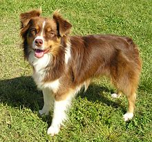 Miniature Australian Shepherd red tricolour.jpg