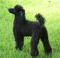Miniature Poodle stacked.jpg