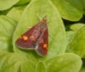 Mint moth segl.jpg