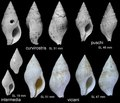 Miocene Euthria Hungary .tif