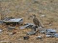 Mistle Thrush (Turdus viscivorus) (33372192733).jpg
