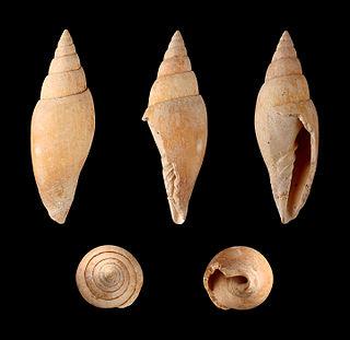 <i>Mitra fusiformis</i> species of mollusc
