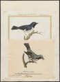 Mniotilta canadensis - 1700-1880 - Print - Iconographia Zoologica - Special Collections University of Amsterdam - UBA01 IZ16300035.tif