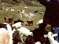 Mobbed By Goats (6568666919).jpg