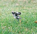 Mockingbird Chick017.jpg