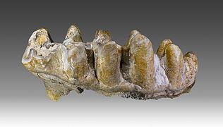 Molaire de Platybelodon grangeri.jpg