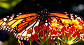 Monarchfalter (Danaus plexippus) auf Asclepiasblüte.JPG