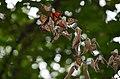 Monarchs roosting on dead elm branch (29261750157).jpg