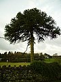 Monkey Puzzle Tree Ayside - geograph.org.uk - 107411.jpg