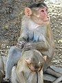 Monkeys at Elephanta Caves - Elephanta Island - Mumbai - Maharashtra - India (26343122401).jpg