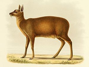 Alpine musk deer - Illustration of an Alpine musk deer