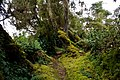 Mossy trees in Rwenzori.jpg