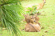 Mother hog deer.jpg