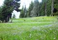 Mount Hood timberline alpine meadow in bloom P1709d.png