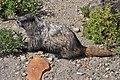 Mount Rainier - September 2017 - Hoary marmots 09.jpg
