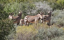 Mountain zebras.jpg