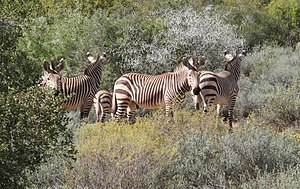 Mountain zebra - A harem of Cape mountain zebras