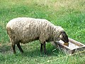 Mouton (03).jpg