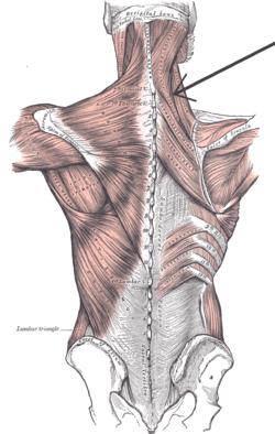 latinske betegnelser anatomi