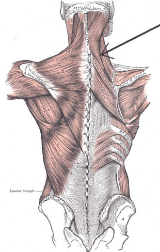 Splenius cervicis muscle - Muscles connecting the upper extremity to the vertebral column. (Splenius capitis et cervicis labeled at upper right, at neck.)