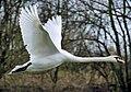 Mute swan flies arp.jpg