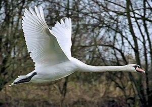 300px-Mute_swan_flies_arp ĉuro