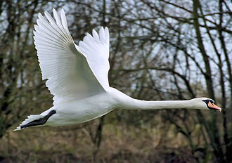 Anatidae - mute swan