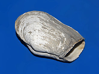 Mya truncata - Shell of Mya truncata, on display at the Museo Civico di Storia Naturale di Milano