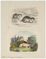 Myodes lemmus - 1700-1880 - Print - Iconographia Zoologica - Special Collections University of Amsterdam - UBA01 IZ20500149.tif