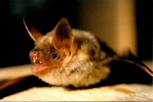 Bresle (river) - Greater mouse-eared bat (Myotis myotis)