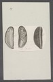 Mytilus edulis - - Print - Iconographia Zoologica - Special Collections University of Amsterdam - UBAINV0274 076 01 0026.tif