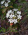 N20150514-0014—Rhododendron columbianum—RPBG (17842555595).jpg