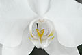 Nachtfalter Orchidee, Phalaenopsis 05.JPG