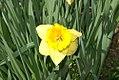 Narcissus Adventure 0zz.jpg