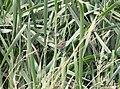 Nelson's Sparrow, McCool's Pond, Indiana, September 29, 2012 (8039550133).jpg