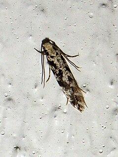 <i>Nemapogon</i> genus of insects