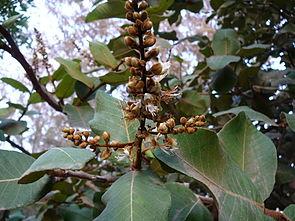 Blütenstand von Neocarya macrophylla