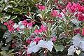 Nerium oleander 10 2017-07-20.jpg