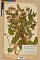Neuchâtel Herbarium - Impatiens noli-tangere - NEU000019941.jpg