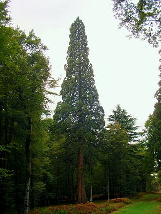 William Lobb - Sequoiadendron giganteum in the New Forest, Hampshire, England, one of the tallest in the UK at 51.5m
