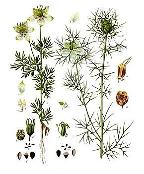 Description de cette image galement comment e ci apr s for Plante nigelle