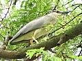 Night Heron (2127204220).jpg