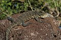 Nile monitor lizard (Varanus niloticus).jpg