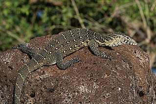 Nile monitor species of reptile