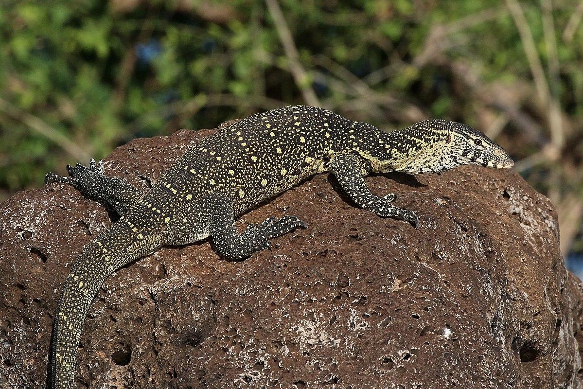 Monitor Lizard | www.pixshark.com - Images Galleries With ...