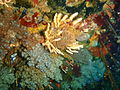 Nippled sea fan and sponge at Middelmas PA208662.JPG