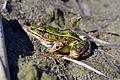 Northern Leopard Frog (Lithobates pipiens) (15359818701).jpg